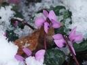 C.coum a hardy cyclamen species blooms in winter, by Gert Jan van Ansem