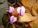 Autumn blooming hardy cyclamen