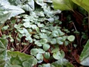 Cyclamen hederifolium seedlings in late spring
