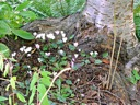 Cyclamen hederifolium at base of tree