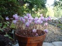 Large potted hederifolium tuber blooming.