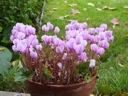 Hardy cyclamen blooms in pot