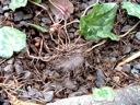 C.hederifolium tuber dug from gravel walkway
