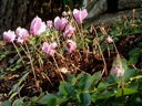 Hardy cyclamen blooming in ground cover