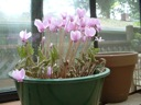 Potted hardy cyclamen