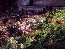 Cyclamen hederifolium tuber emerging blooms