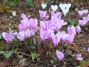 Soft pink blooms of hederifolium