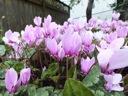 C.hederifolium nursery blooms closeup