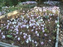C.hederifolium nursery beds