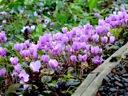 C.hederifolium colony along the garden walkway.