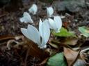 Cyclamen hederifolium white blossom