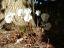 C.hederifolium white form at the base of a maple tree.