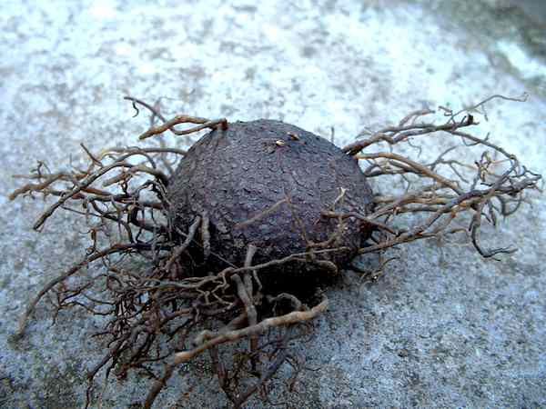 Bottom view of Cyclamen hederifolium tuber.